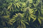Cannabis Weekly
